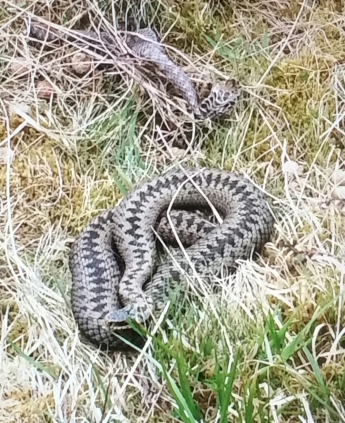 Adder basking in the sun.