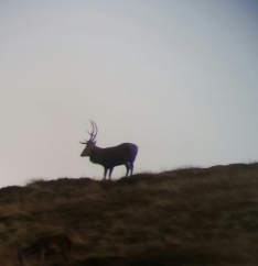 red deer rut (3)